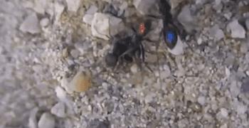 互相救援的螞蟻 !