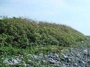 枝葉茂盛的黃槿樹林與土堆長年守護農民賴以維生的稻田