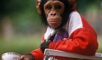 可愛的作秀黑猩猩可能妨礙保育工作
