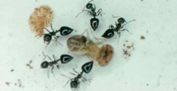 螞蟻用毒氣槍打獵