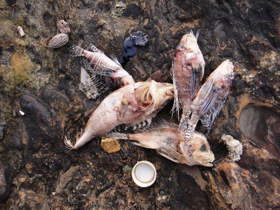 台灣東北角潮間帶在3月14日起陸續出現大量死亡的珊瑚礁魚類 (柯品薰提供)