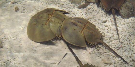 鱟在生殖期間雌雄個體形影不離,所以有鴛鴦魚的美名。