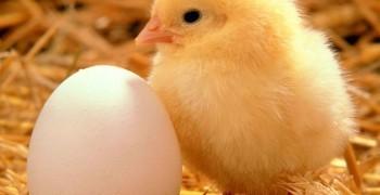 從這次的禽流感,淺談現在台灣的養雞產業