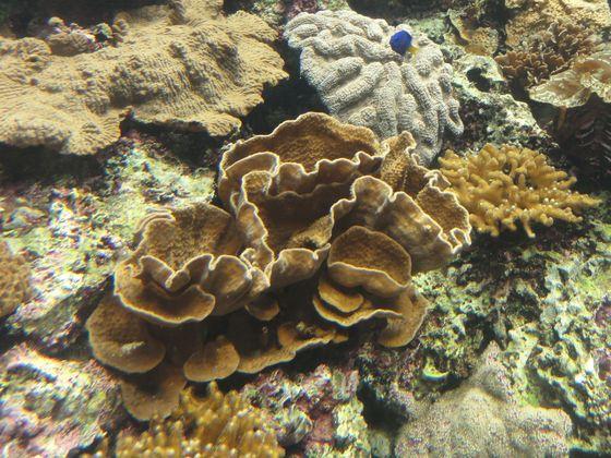 石珊瑚是被認為是形塑珊瑚礁的主力