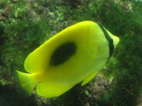 小個體的鏡班蝶魚常在巨大邁氏條尾魟上啄食身上的寄生蟲