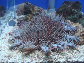 因天敵大法螺受到濫捕,促成棘冠海星數量大爆發,導致珊瑚礁受到傷害