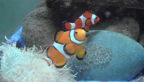 小丑魚家族中體型較大的個體都是由雄性魚轉變而來的
