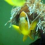 小丑魚與海葵有著密不可分的共生關係