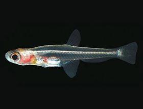 世界上最小的蝦虎魚 (圖片來自http://enimal.org)