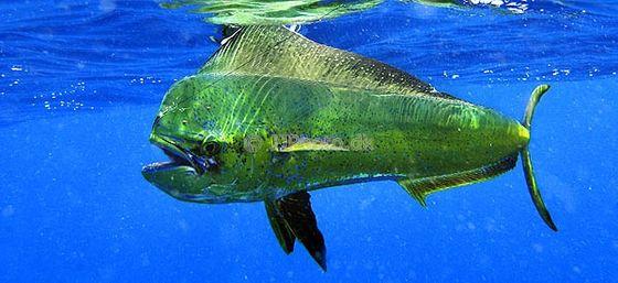外型兇惡如一把頭的鬼頭刀以追飛烏出名故稱飛烏虎 圖片取自http://www.jjphoto.dk
