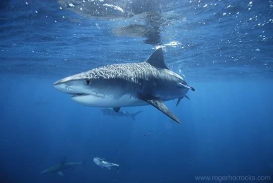 惡名昭彰對人類具有危險性的虎鯊 (圖片來源)