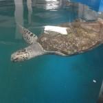 獨臂龜無法存活於野外只能長期留在人工池中生活