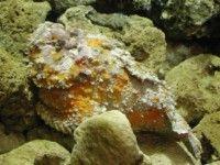 玫瑰毒鮋外型非常類似石頭並採用伏擊的方式獵食小魚
