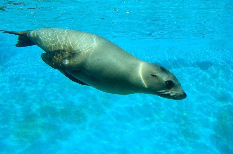 加州海獅. 照片來源: Wikipedia