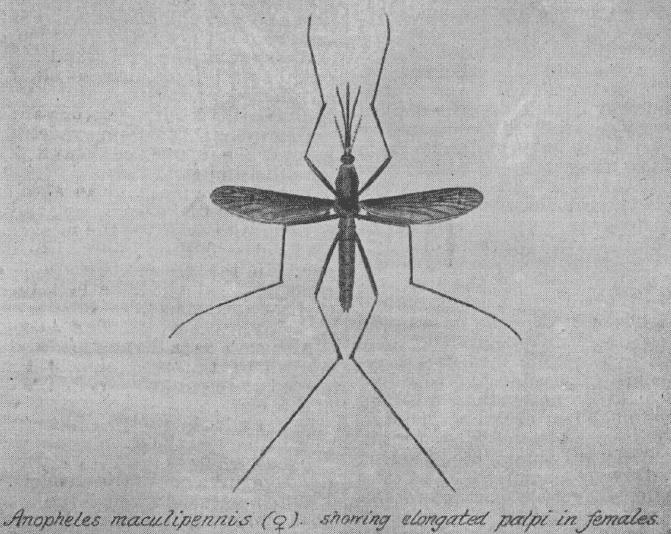 瘧蚊(又稱按蚊)。翅膀上可見斑點,因此被Ross稱做dapple-winged。  Image courtesy of http://www.ncbi.nlm.nih.gov/pmc/articles/PMC2411553/pdf/brmedj08618-0001.pdf