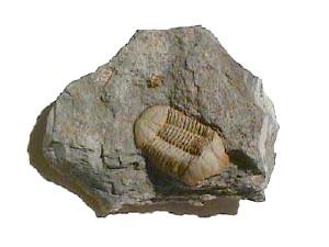 Trilobite_Ductina