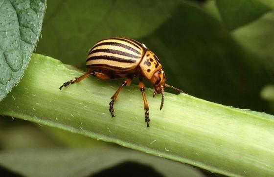 800px-Colorado_potato_beetle