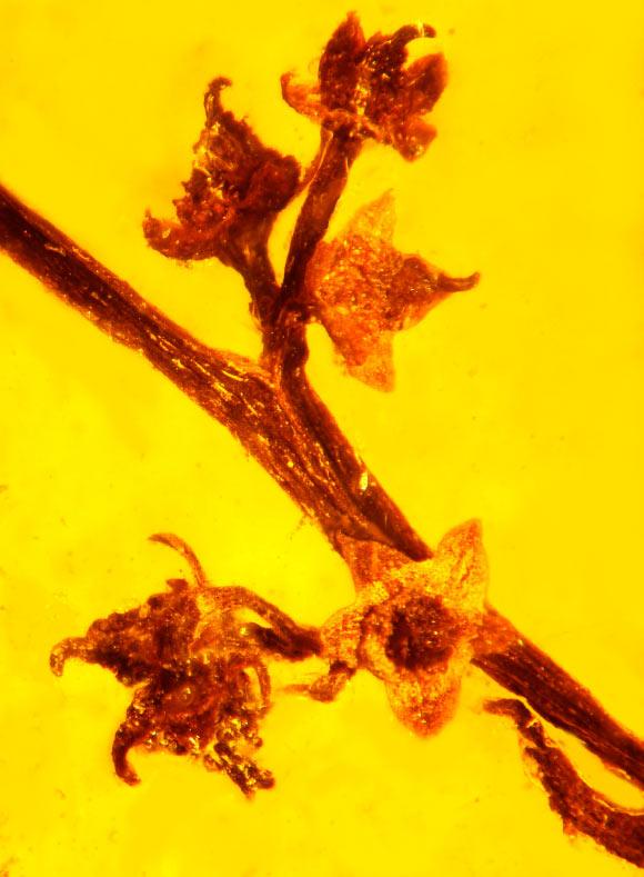 在琥珀中發現的化石,不只是蚊子血