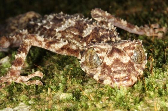 leaftail-gecko-Saltuarius-e