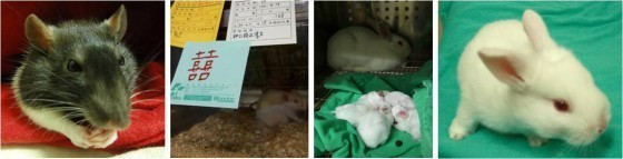 實驗大鼠/紐西蘭大白兔