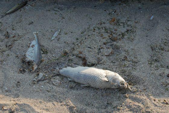 寒害來臨時魚群並非因為結凍而死,而是因溫度抑制食慾的生理機制,使魚群餓死。(圖片來源:Flickr作者澎湖小雲雀)