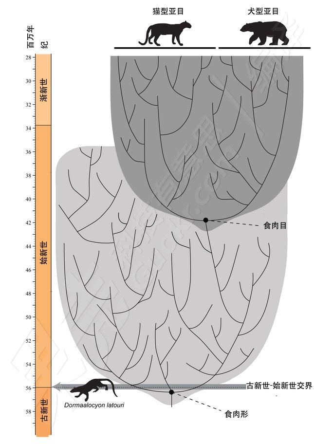 標示出Dormaalcyon位置的系統發生樹。圖片來源:Charlène Letenneur (MNHN), Pascale Golinvaux (RBINS).