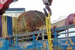 土球直徑約樹幹米高直徑三至四倍。(摘自《樹木種植手冊》-基盤整備概念篇)