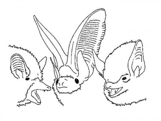 小型蝙蝠外觀奇特,不過還是擁有小小的眼睛看見世界。 圖片來源|《ision in Echolocating Bats》Göteborg動物學博士論文附圖