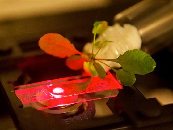 研究人員正使用的近紅外顯微鏡來讀取嵌入在阿拉伯芥植物中的碳納米管傳感器的輸出。
