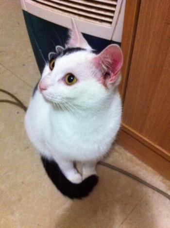 白貓、白狗,短毛的貓狗容易被曬傷喔!