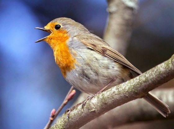 歐洲知更鳥(European robins),當地常見的六種鳴禽之一 圖片來源:Science Now