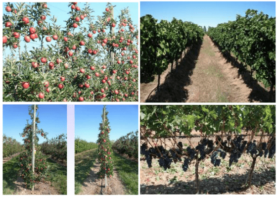 圖片來源|WP6: Harvesting systems in orchards: grapes and apples