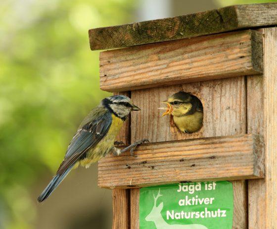正在餵食雛鳥的藍山雀。圖片來源:維基百科