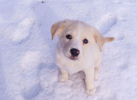 對這隻小拉拉來說,你到底是朋友還是「領頭犬」呢? 圖片來源|cc by John Talbot