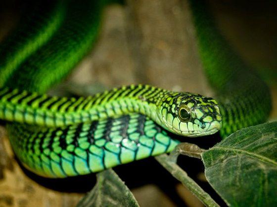 雄性的非洲樹蛇。雌性是棕色的。圖片來源:維基百科