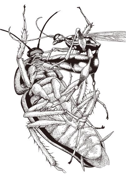 (泛科學)寄生蟲-扁頭穴蜂-4