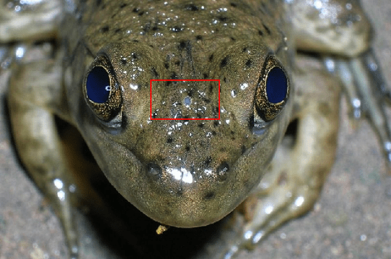 Frog_parietal_eye copy