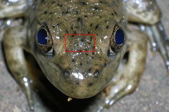 Frog_parietal_eye copy