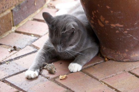cat-dead-mouse