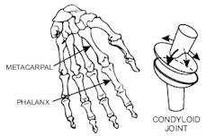 橢圓關節:能做前後和左右的移動,指關節正是這種橢圓關節