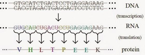 基因的表現,首先需要將遺傳資訊從DNA上轉錄至信使RNA,然後再通過轉運RNA轉譯成蛋白質。 圖片及文字來源:wikipedia
