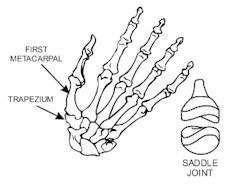 鞍狀關節:能做比較大幅度的移動,如大拇指的關節