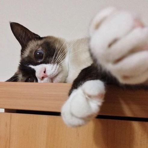 體色灰白、有藍色眼珠的暹邏貓、緬甸貓、東奇尼貓就是,白化的貓咪。