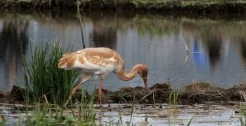 嚴重瀕臨滅絕的新訪客:白鶴