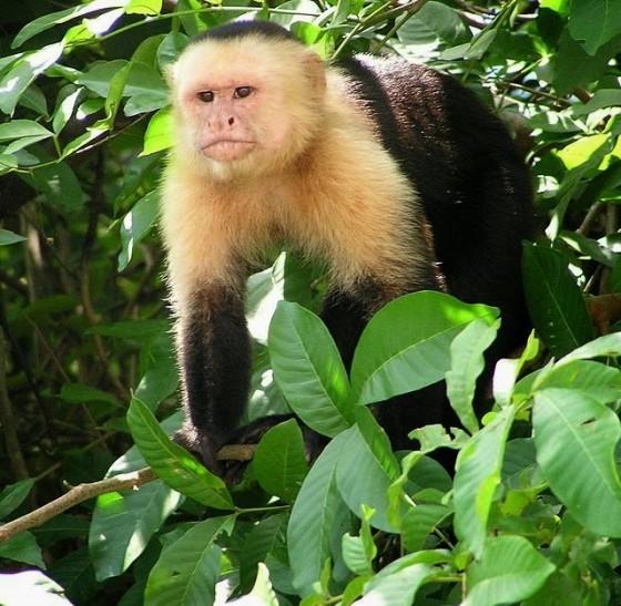 Capuchin_Costa_Rica