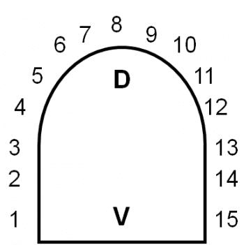 圖11:鈍頭蛇身體橫切面示意圖,鱗脊通常由第8列往兩側逐漸延伸也逐漸減弱直到消失。