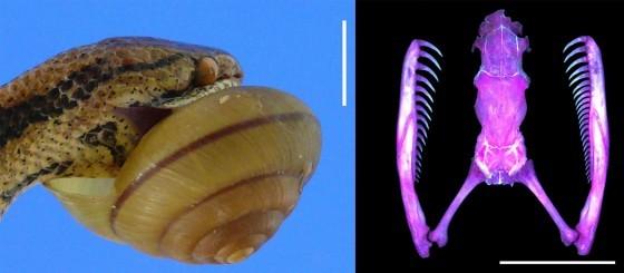 圖13:鈍頭蛇的右手性,即下頷右側牙齒數目較多。