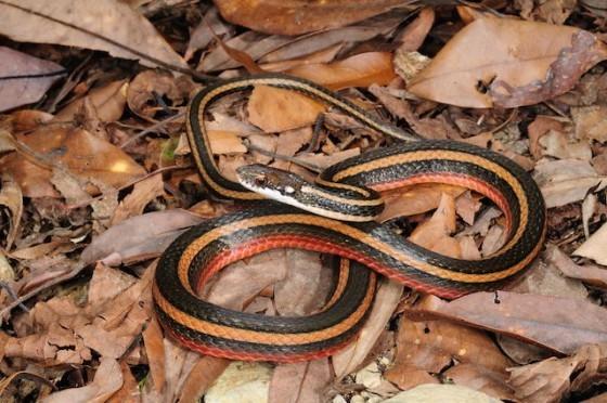 圖2:金絲蛇。
