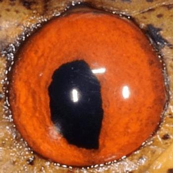 圖7:台灣鈍頭蛇眼睛虹膜是橘紅色的。
