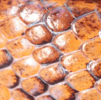 圖8:台灣鈍頭蛇鱗片完全光滑無鱗脊。